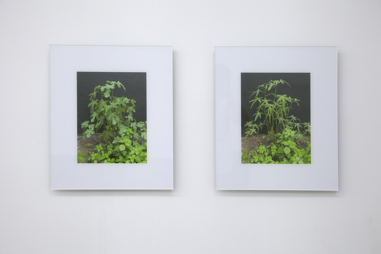 Zhou Wendou, From Fig Leaves to marijuana Leaves, 2004, Giclee print mounted on Diasec, 55 x 46.5 cm x 2